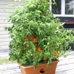 Grow_Box_Tomato_Self_Watering