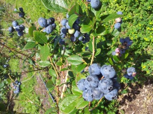 Its easy picking when blueberries are this ripe. 